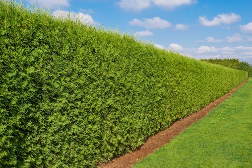 "La siepe: il ""muro"" verde"